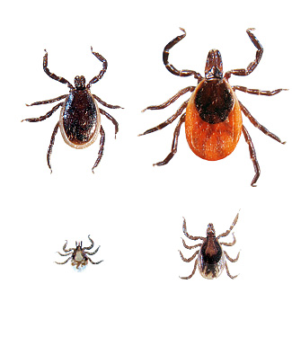 The deer tick, Ixodes scapularis is known to carry Lyme Disease