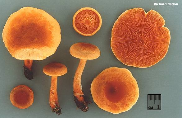 A detailed photo of the false chanterelle by Richard Nadon from Mushroomexpert.com
