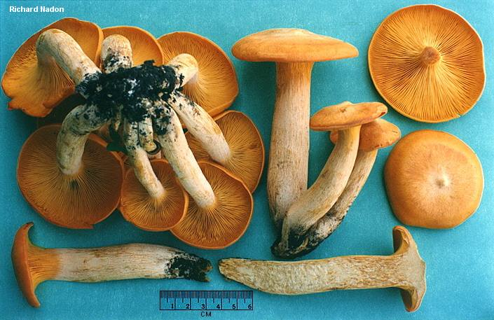 A detailed picture of Jack-O-Lantern mushrooms by Richard Nardon from Mushroomexpert.com