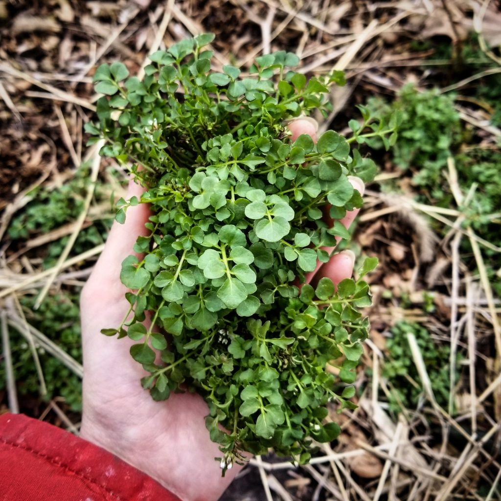A generous handful of lush green Bitter Cress just waiting to end up in pesto.