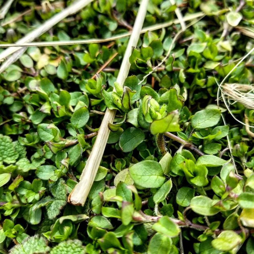 Chickweed doing its thing in my garden.