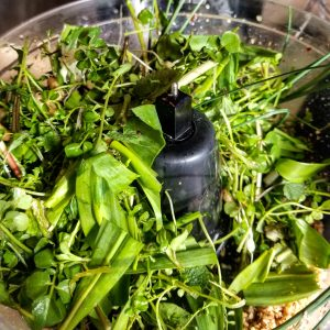 A foraged mix of ramps, spring onions, garlic mustard, bitter dock, dandelion, chickweed, bitter cress, Canada thistle, and trout lily- soon to be pesto!