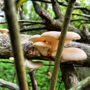 Oyster mushrooms chilling on a branch.